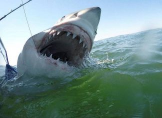 Great White Shark caught off the coast of Hilton Head